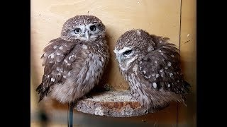 Little Owls can't scratch each other because they have paws.