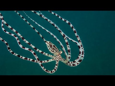 Mimic Octopus Master Of Disguise