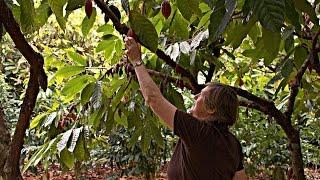 Kakao ernten und gleich zu Schokolade verarbeiten als Hobby