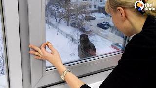 Download Youtube: Crow Really Wants Something Inside | The Dodo