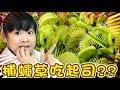 [閱覽注意]捕蠅草會吃起司??/Venus flytrap eat cheese??/食虫植物ハエトリソウはチーズを与えてみた[NyoNyoTV 妞妞TV]