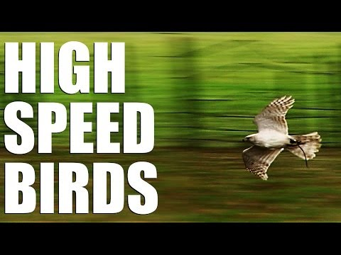 Fieldsports Britain – High speed birds