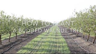 Duarte Nursery: How To Plant A Budded Walnut Tree