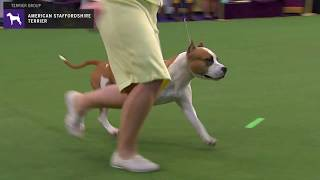 American Staffordshire Terriers | WKC | Breed Judging 2020