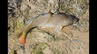 Сазан август ахтуба отчеты о рыбалке