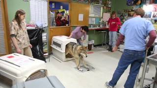 Download Youtube: IFAW Alaska Wolf-Dog Rescue