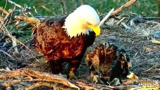 Decorah North Bald Eagles - Let's pay a visit to cute DN12! 5 May 2020