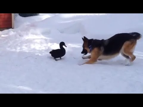 Dog And Duck Play In Snow