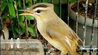 Burung Kerakbasi Alis Hitam Gacor Bersuara Merdu Buat Master