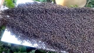 Смотреть онлайн Как пчелы заходят в улей, где есть матка