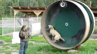 Смотреть онлайн Хаски крутит колесо с огромной скоростью