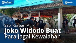 Buat Jagal Kewalahan, Sapi Kurban Jokowi di Masjid Al Wusto Solo Terus Meronta dan Sulit Ditaklukan