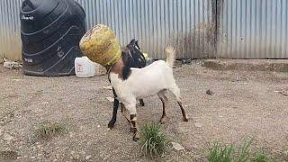 Смотреть онлайн Головы коз застряли в горшке