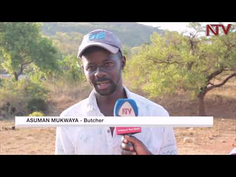Pastoralists cry out as cows die in Nakasongola drought