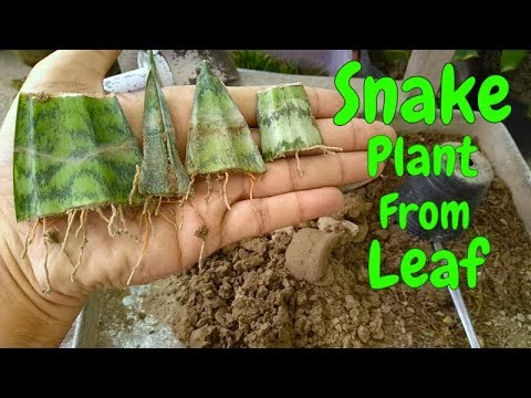 How to Grow Snake Plant ( Sansevieria )From Leaf Cutting