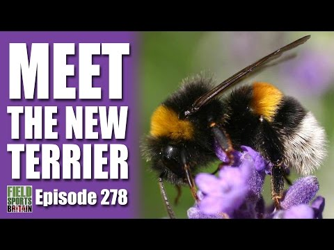 Fieldsports Britain – Meet the New Terrier… it's a Bumblebee