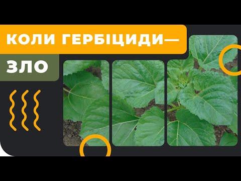 Когда ТОЧНО нельзя вносить гербицид на подсолнечник?