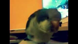 Zpěv papouška
