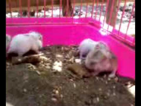 Video usia anak hamster roborovski 10 hari