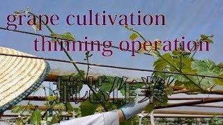 ブドウ摘芯作業 Grape Cultivation (thinning Operation)