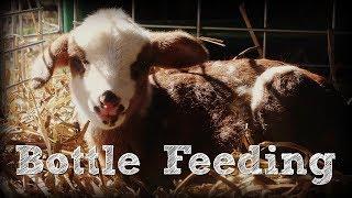 Bottle Feeding a Newborn Lamb