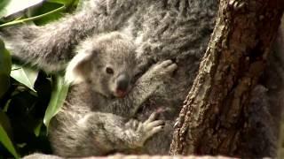 コアラ の赤ちゃん こまち ② Koala Holly