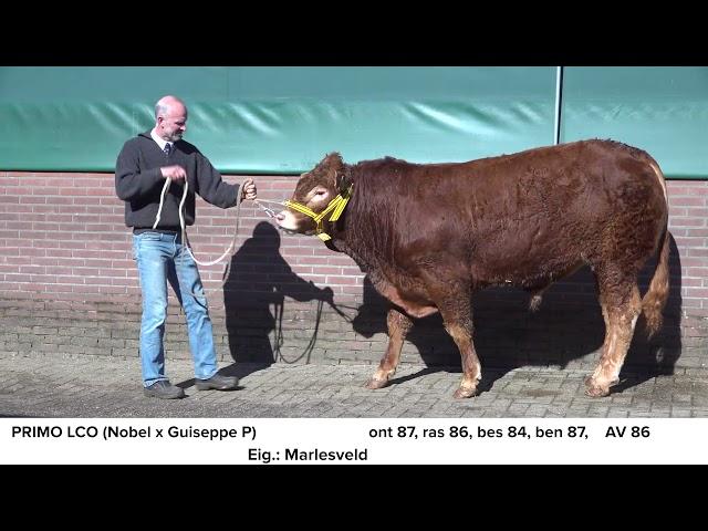 Limousin Marleseveld Primo NL566406478