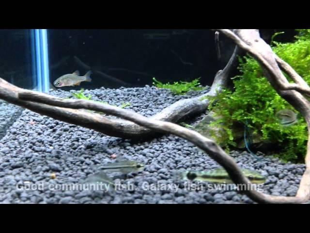 dwarf corydoras (Corydoras hastatus) HD