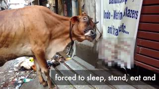 Warninggraphic content Our new video shows millions of dairy animals are kept