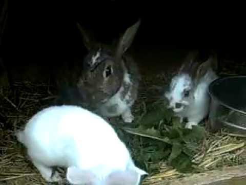 Hungrige Hasenfamilie