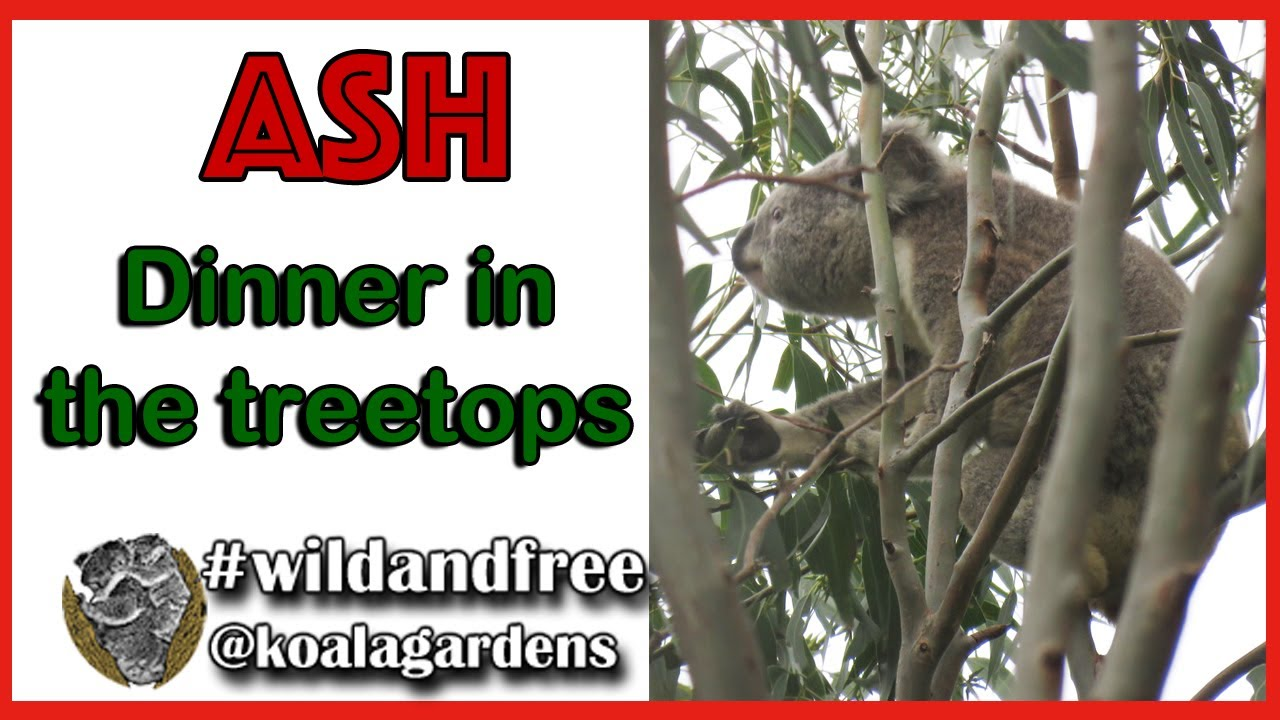 ASH – dinner in the treetops