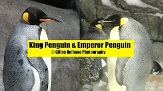 King Penguin & Emperor Penguin - The Differences - G.Delhaye Photography
