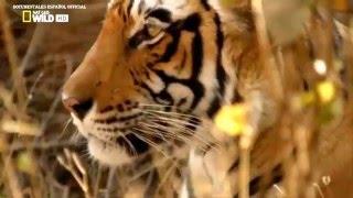 Documental Tigres  Nat-Geo WILD   Documental  