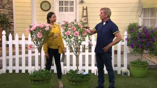 Cottage Farms Sugar Tip Rose Of Sharon Patio Tree With Gabrielle Kerr