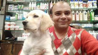 Know all about a Golden Retriever Dog. By Baadal Bhandaari Pathankot 9878474748