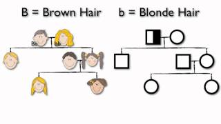 What Are Pedigree Charts