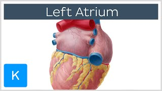 Left Atrium Heart Chamber Anatomy - Human Anatomy | Kenhub