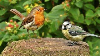 Vidéos Pour Les Chats : Petits Oiseaux Chant