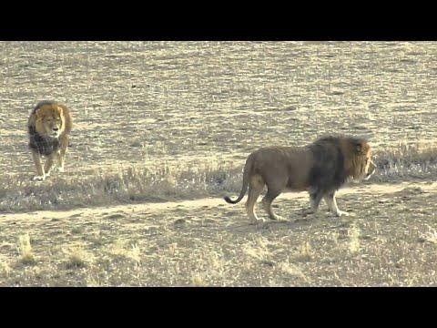Kehidupan Singa Di Alam Liar