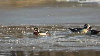 Wood Ducks a Courting (SloMo 2x)