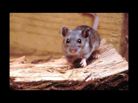 Video What Type of Diseases Do Rats Carry?
