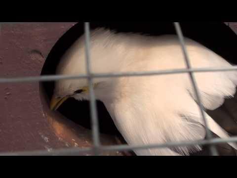 Video indukan jalak putih(Sturnus melanopterus)