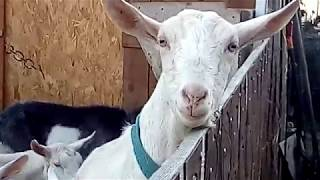 Наши козы