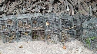 Bẫy ở khu vườn chuột, bị chuột nhai luôn cái bẫy. Kỳ đà xuất hiện tại vườn của Săn bắt SÓC TRĂNG