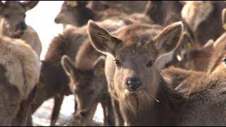 Сюжет ТСН24: Более 170 особей благородного оленя завезли в Ясногорский район