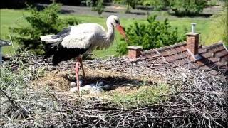 preview picture of video 'Hajnal, Halász és a négy fióka / White Stroks in Nagyhalász, Hungary (2011.05.18.)'