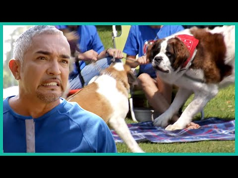 Can Cesar Millan Control This Powerful Saint Bernard?
