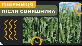 Пшениця після соняшника [GrowEx]