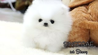 So cute teacup white pomeranian for sale! teacup puppy for sale!!