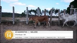 23 GARROTES NELORE